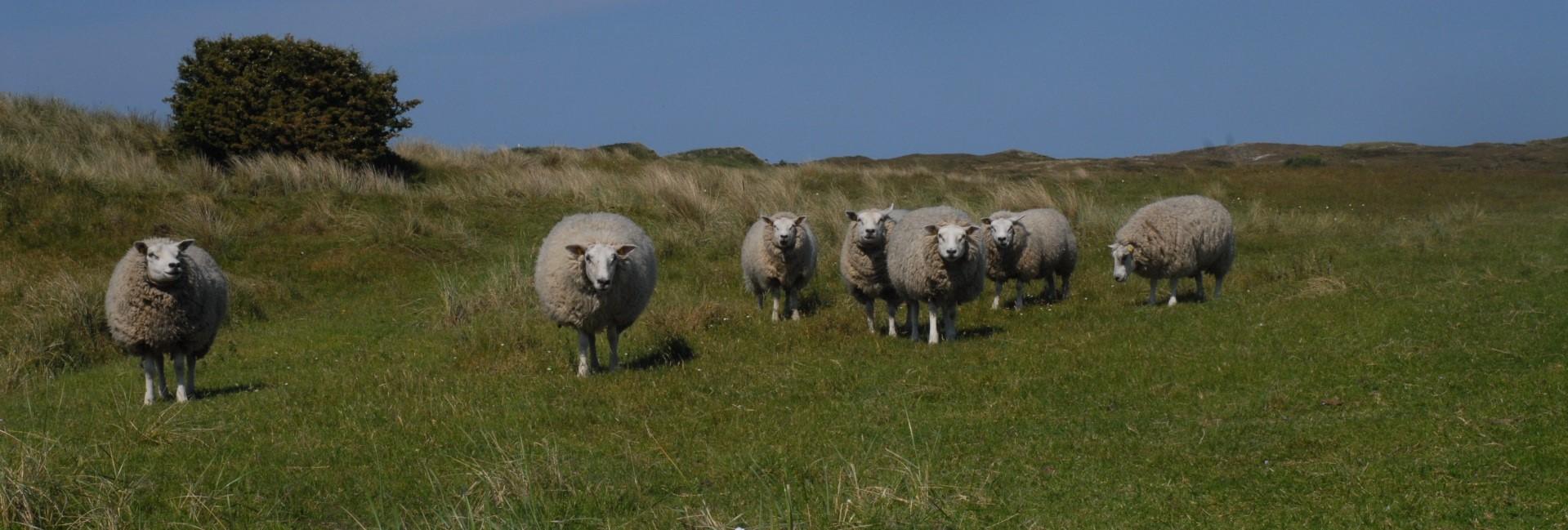texeler dekbed wollen dekbedden texelse schapen nico van de nes